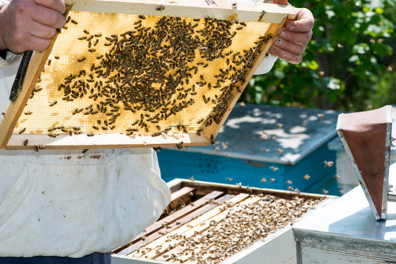 beekeeper holding a frame of bees