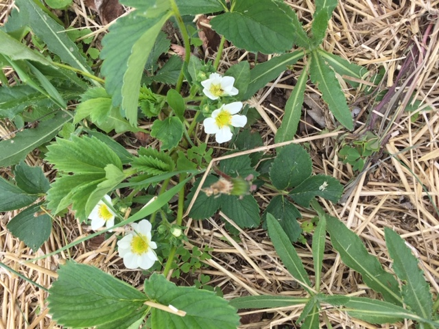 strawberry plant with blossom