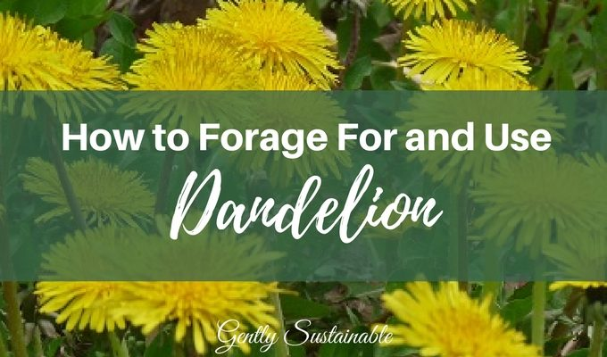 How to Forage For and Use Dandelion