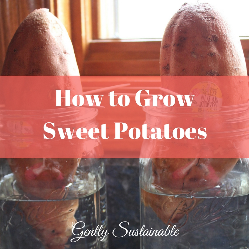 How To Grow Sweet Potatoes The Sustainable Way