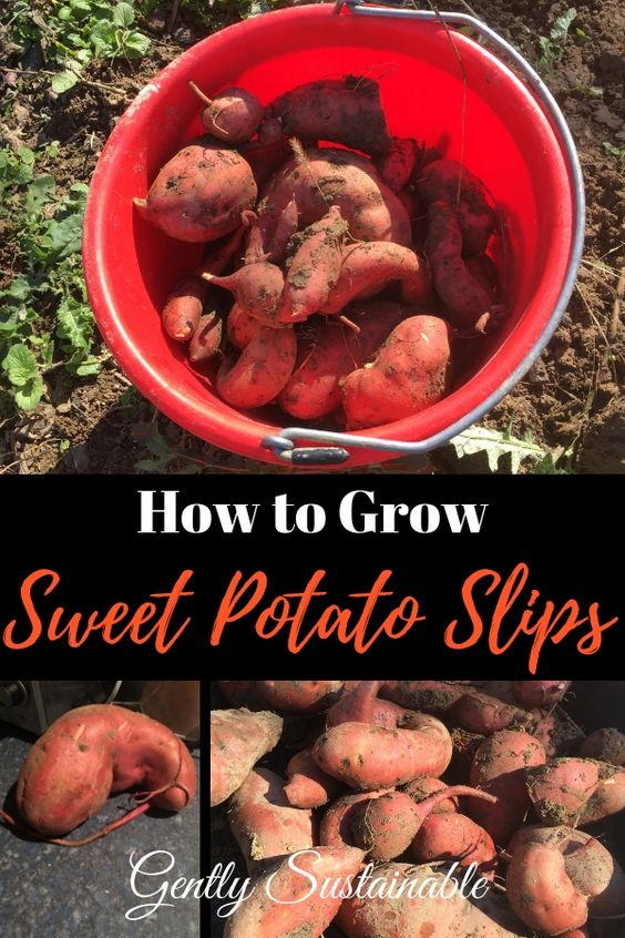 How to Grow Sweet Potatoes Indoors