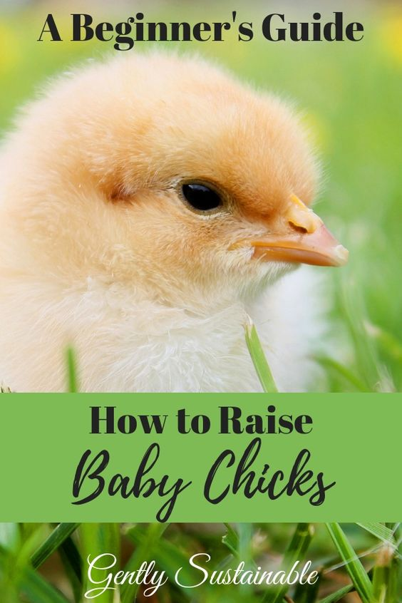 How to Raise Baby Chicks for Beginners