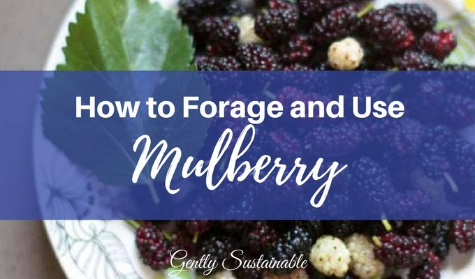 how to forage and use mulberry