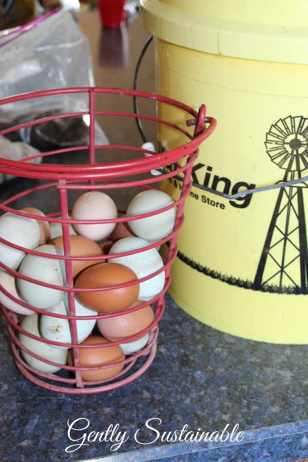 Eggs in a wire basket with 5 gallon bucket next to it