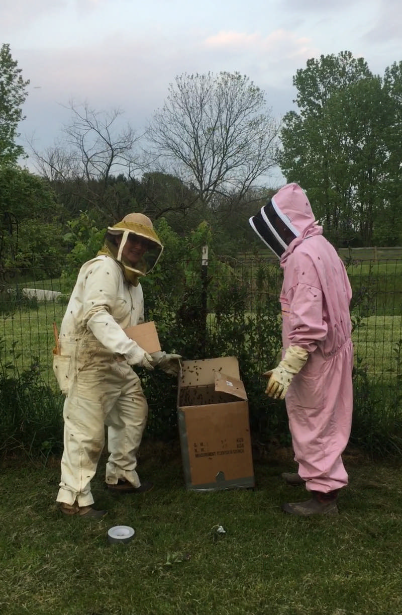 beekeepers capturing swarm
