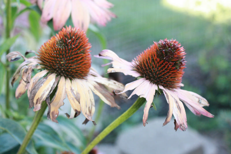 echinacea going to seed