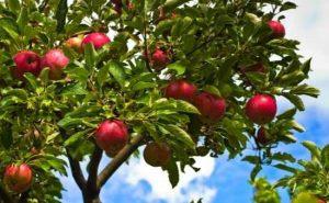 how to grow organic fruit trees at home