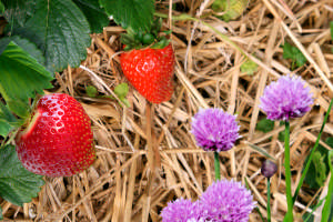 How to Grow the Best Strawberries Using Chives