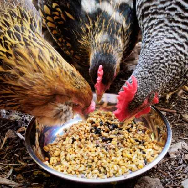 hens eating out of a bowl