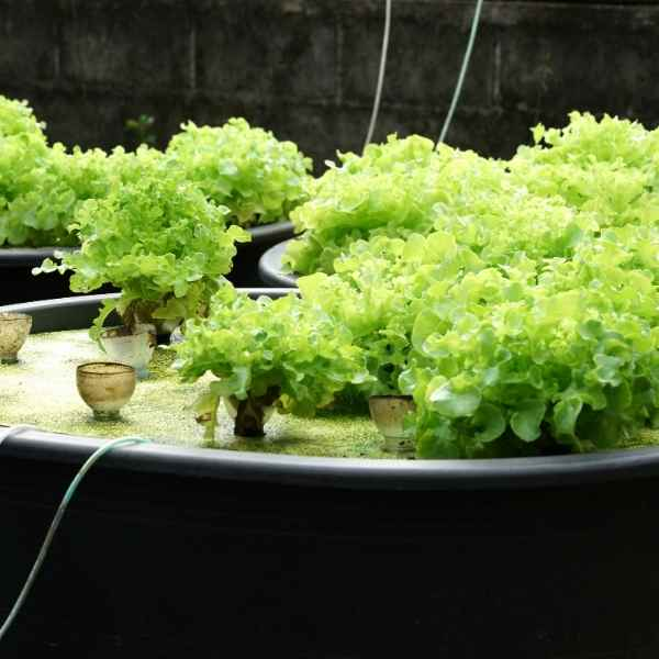 growing lettuce with aquaponics
