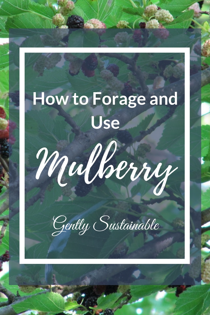 How to Forage for and Use Mulberry