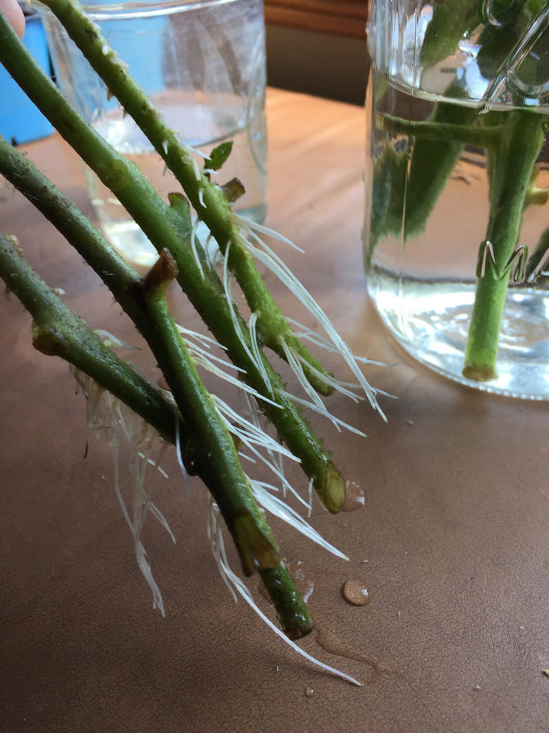 tomato cuttings rooting