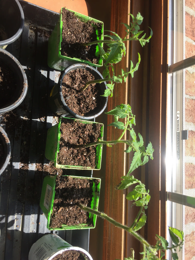 indoor tomato plants