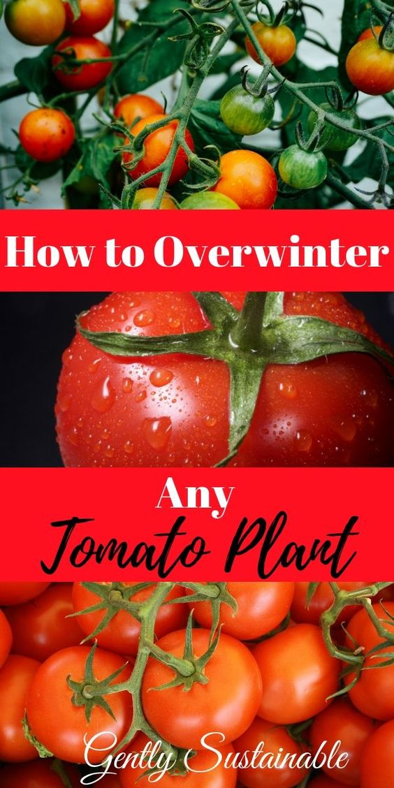 How to Over Winter Any Tomato Plant