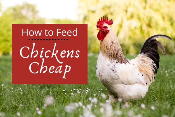 how to feed chickens cheap