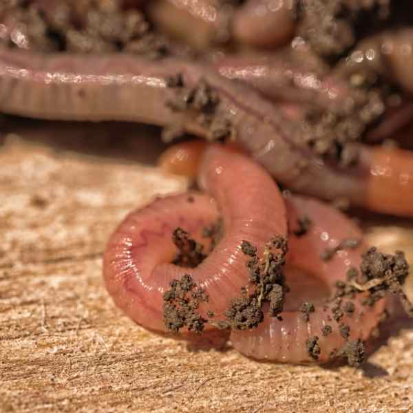 attract worms