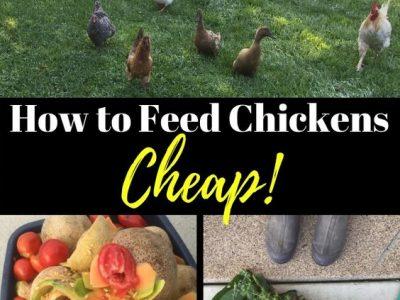 10 Ways to Save Big Money on Chicken Feed
