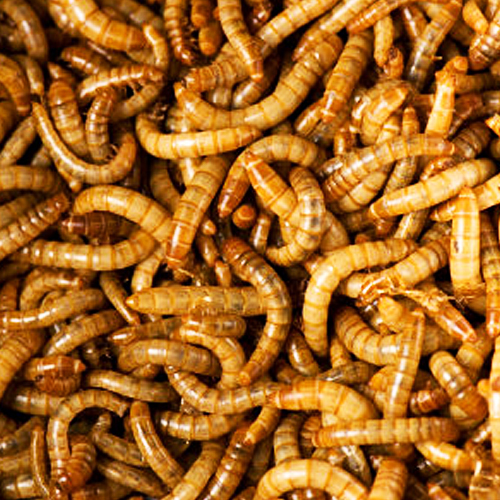 mealworms for chickens