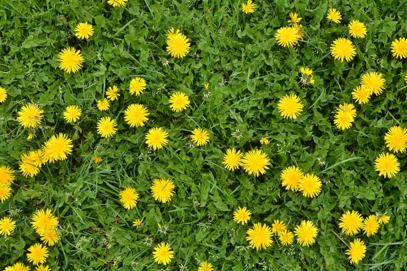 dandelion field of