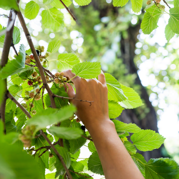 picking mulberry