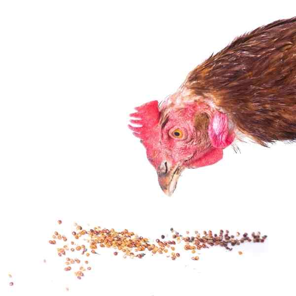 what can I feed my chickens to keep them healthy