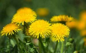 Can You Safely Eat Dandelion?