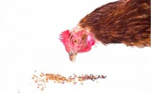 What Can I Feed My Chickens to Keep Them Healthy?