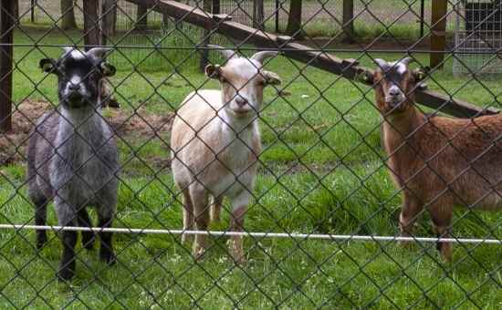 9 Things to Consider Before Getting Livestock
