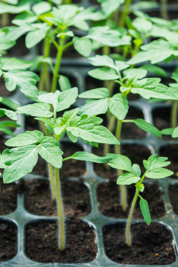 How to Start Seeds Indoors for Beginners