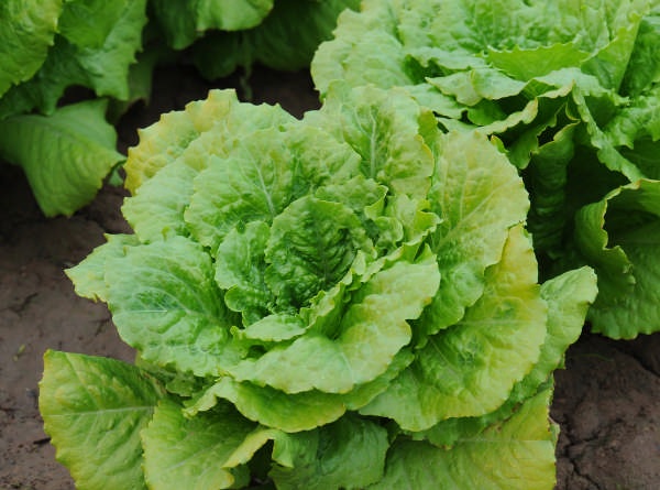 weed free lettuce patch