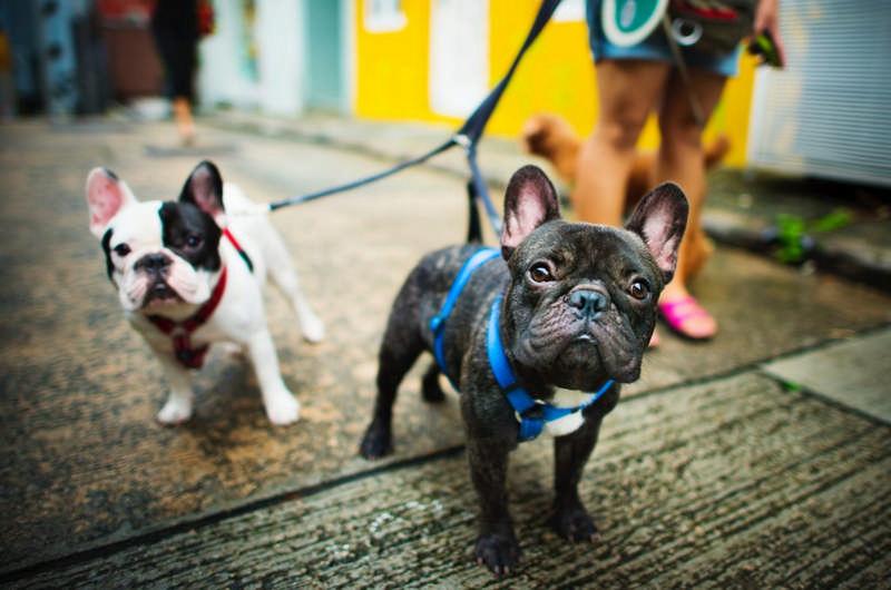 2 french bulldogs walking
