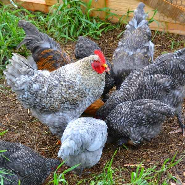 rooster and hens scratching