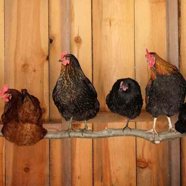 chickens roosting