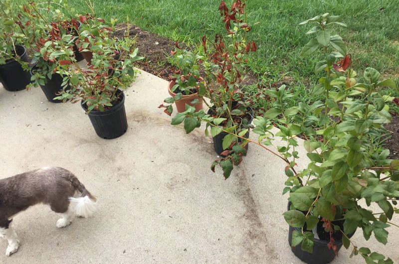 blueberries in pots on back patio