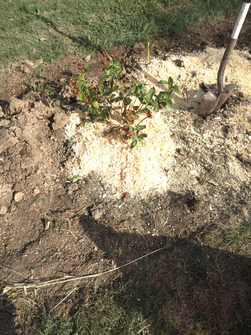 blueberry plant in ground with wood shavings