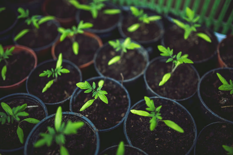 2 Easy Methods to Save Tomato Seeds For Next Year