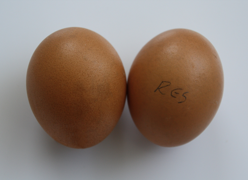 red star sex link eggs