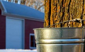 How to Tap Maple Trees and Make Syrup
