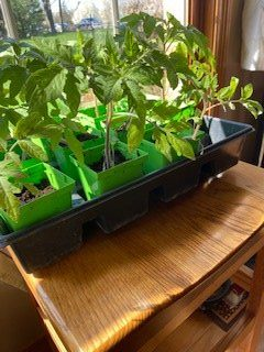 tomato seedlings sitting in window