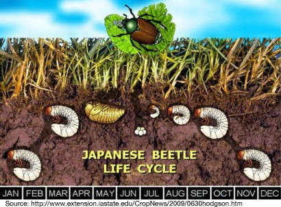 THE Natural Way to Kill Japanese Beetles for Good