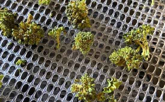 How to Dry Broccoli Using a Dehydrator