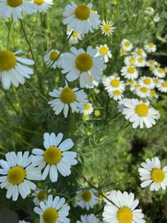 chamomile plant in bloom
