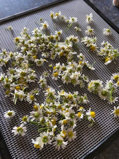 chamomile blooms drying on a tray