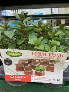 retail chocolate mint plant