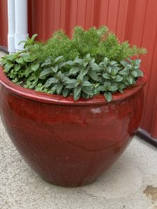 herbs growing in a pot