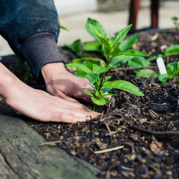 hands planting a plant in raised bed