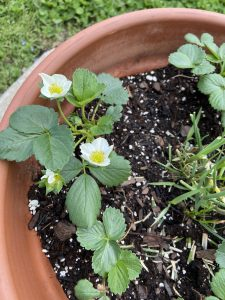 strawberry blossoms in a container
