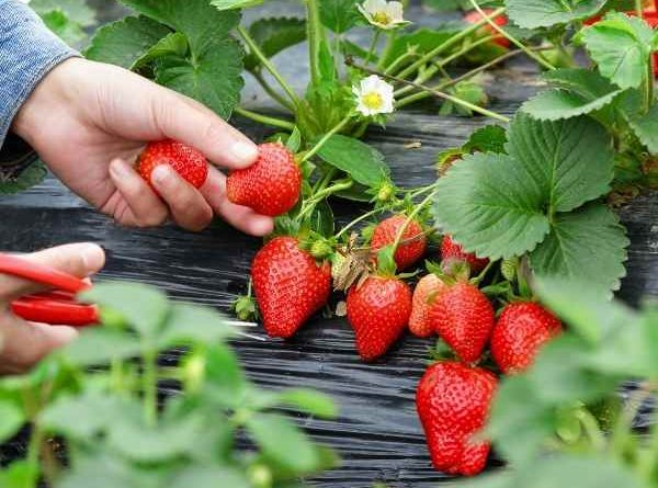 How to Grow Strawberries in a Container