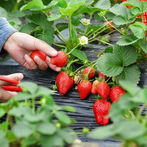 strawberry plants in the ground