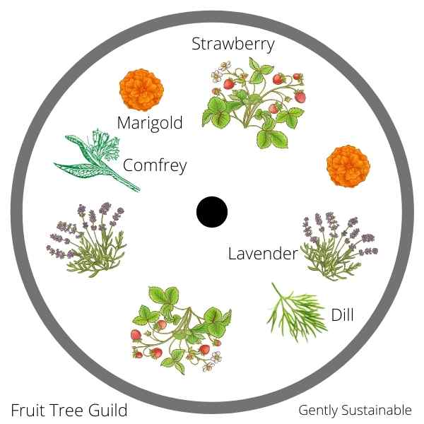 fruit tree guild example